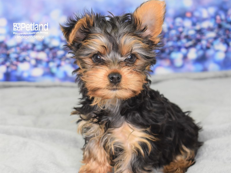 Yorkshire Terrier-Female-Black and Tan-2641400-Petland Independence, MO
