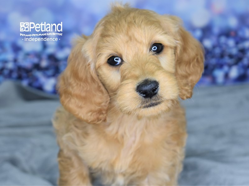 Goldendoodle-Female-Golden-2651805-Petland Independence, MO