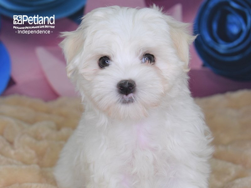 Maltese-Male-White-2652497-Petland Independence, MO