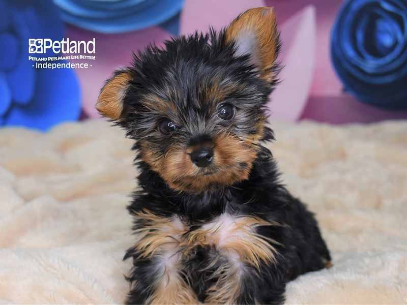Yorkshire Terrier-Female-Black and Gold-2662300-Petland Independence, MO