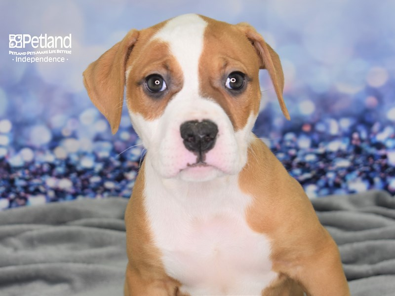 American Bulldog-Female-White and Red-2614006-Petland Independence, MO