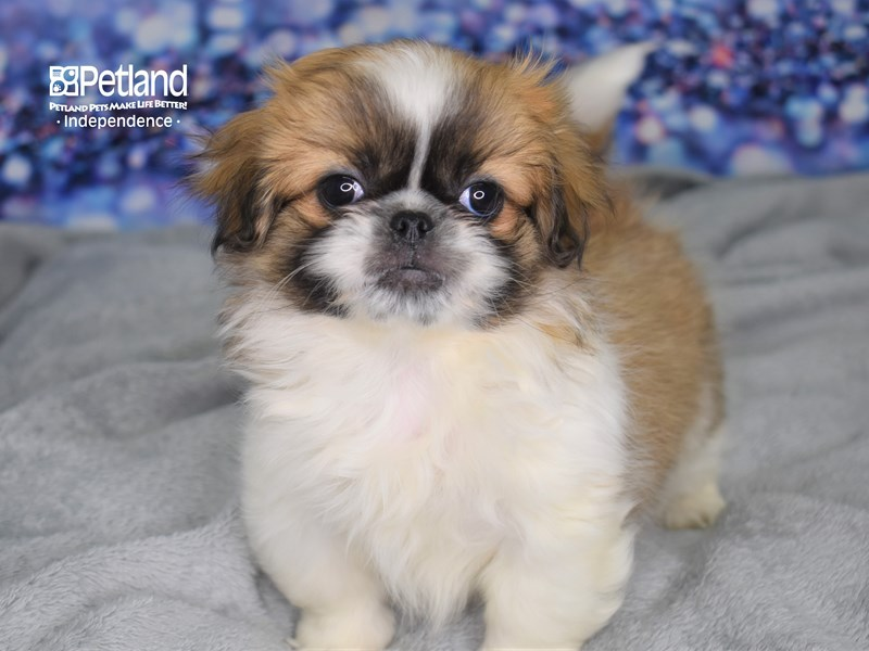 Pekingese-Female-Sbl-2634436-Petland Independence, MO