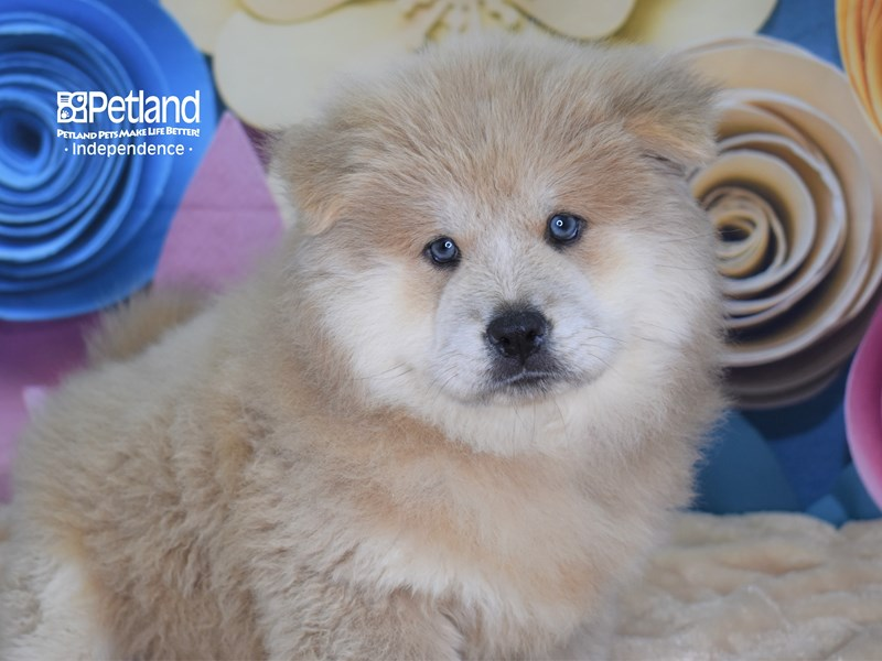 Chow Chow-Female-Cream-2662362-Petland Independence, MO