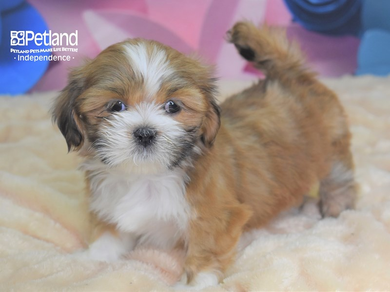 Lhasa Apso-Female--2669540-Petland Independence, MO