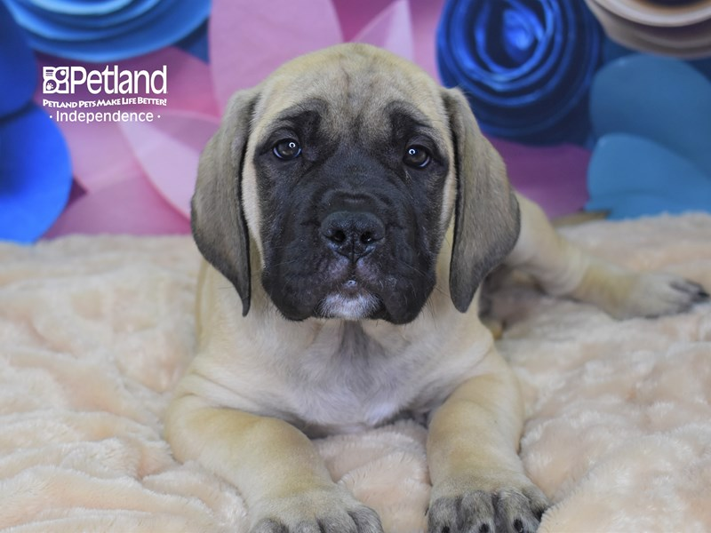 English Mastiff-Male-Fawn-2671951-Petland Independence, MO