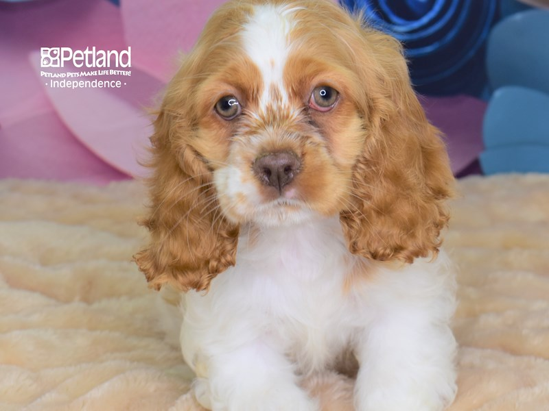 Cocker Spaniel-Female--2674536-Petland Independence, MO