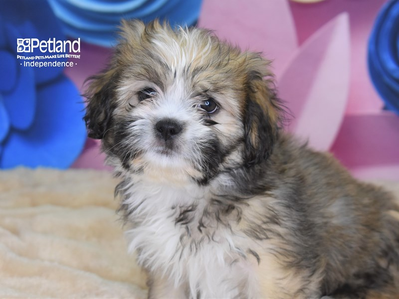 Lhasa Apso-Female-Golden-2680556-Petland Independence, MO