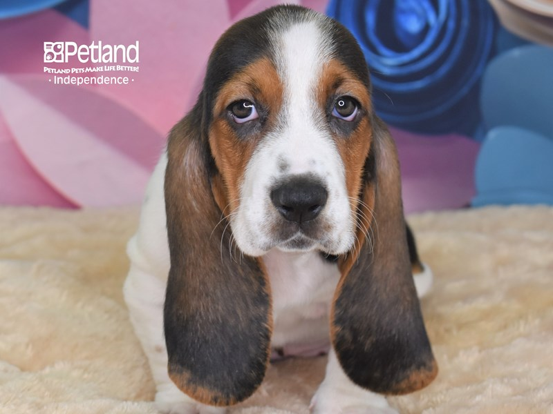 Basset Hound-Female-White Black and Brown-2684612-Petland Independence, MO