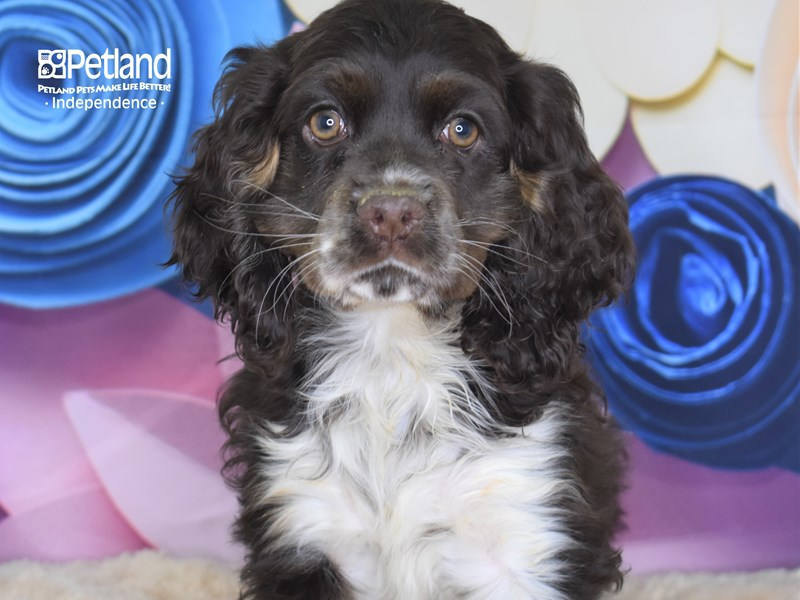 Cocker Spaniel-Female-Chocolate & White-2684644-Petland Independence, MO