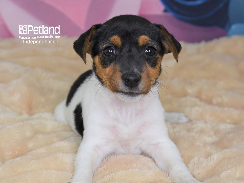Jack Russell Terrier-Female-Black, Tan, & White-2689461-Petland Independence, MO