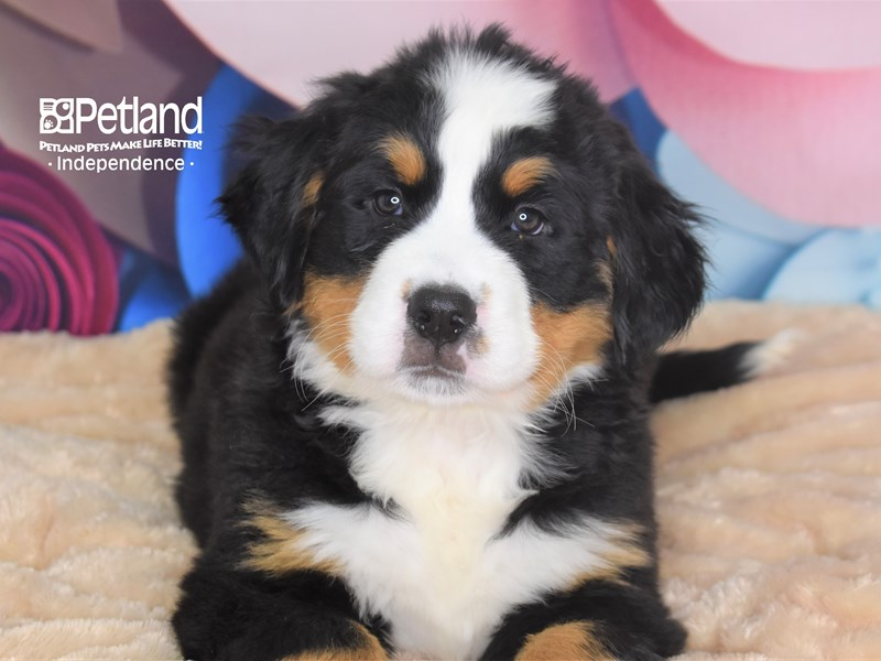 Bernese Mountain Dog-Male-Black and Rust-2705136-Petland Independence, MO