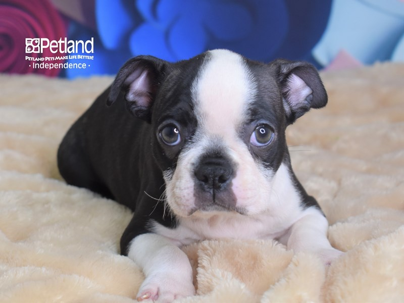 Boston Terrier-Male-Black Brindle and White-2718099-Petland Independence, MO