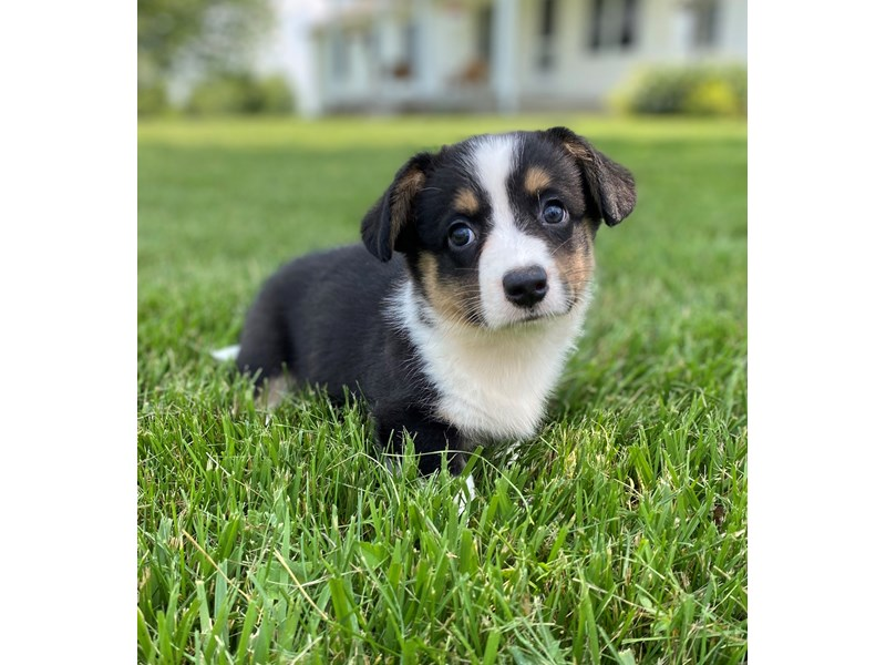 Cardigan Welsh Corgi-Male-Black, White, & Tan-2745250-Petland Independence, MO