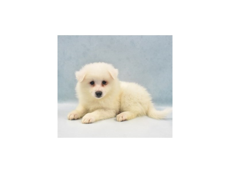 American Eskimo-Male-White-2749124-Petland Independence, MO