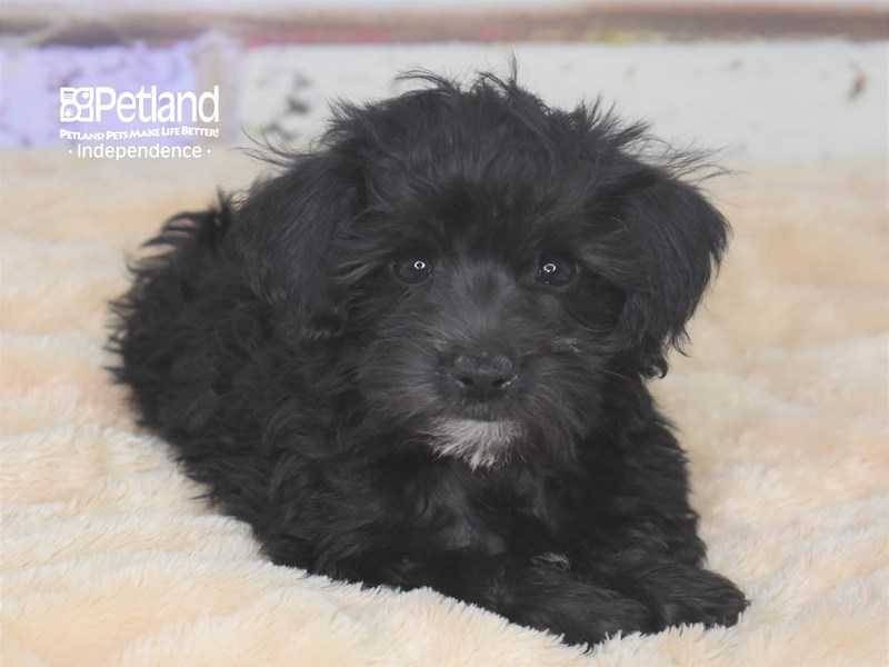 Schnoodle-Male-Black-2744916-Petland Independence, MO