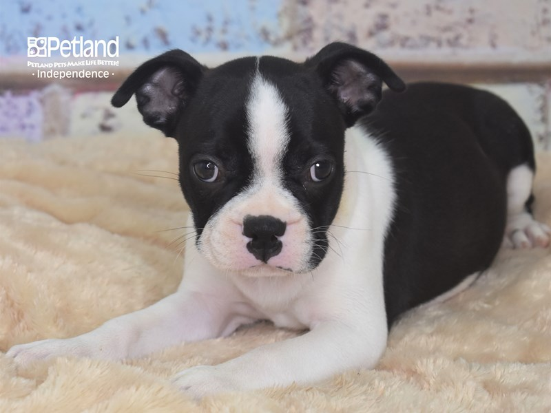 Boston Terrier-Female-Black and White-2752914-Petland Independence, MO
