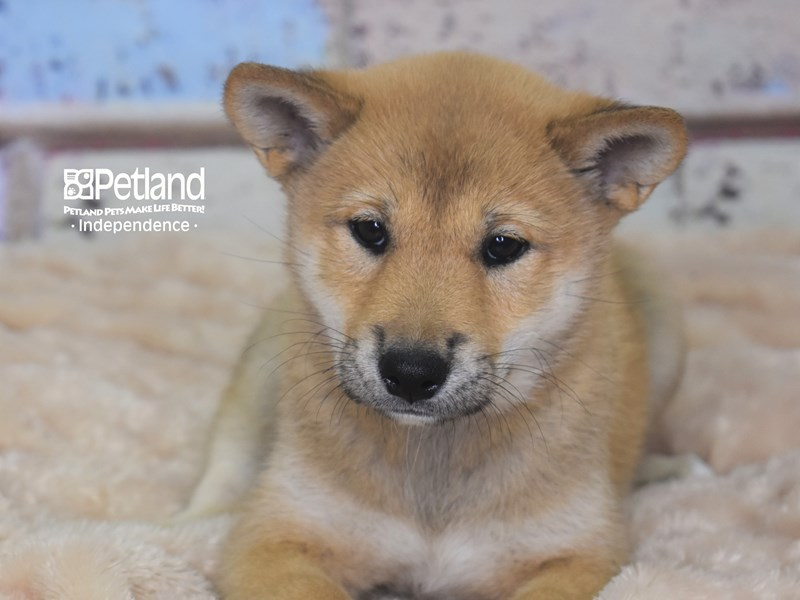 Shiba Inu-Female-Red Sesame-2753444-Petland Independence, MO