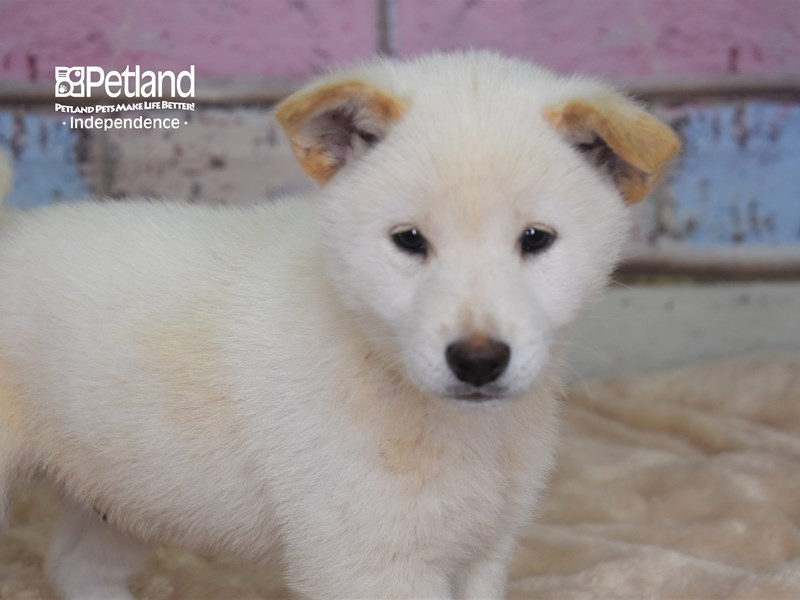 Shiba Inu-DOG-Male-Cream-2750598-Petland Independence, MO