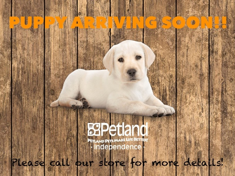 Maltese-Male-White Black Points-2722366-Petland Independence, MO