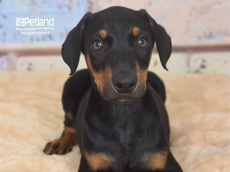 Doberman Pinscher-Male-Black and Rust-2752917-Petland Independence, MO