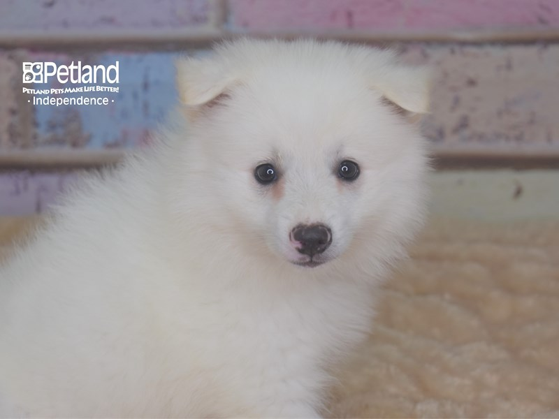 American Eskimo-Male-White-2750597-Petland Independence, MO
