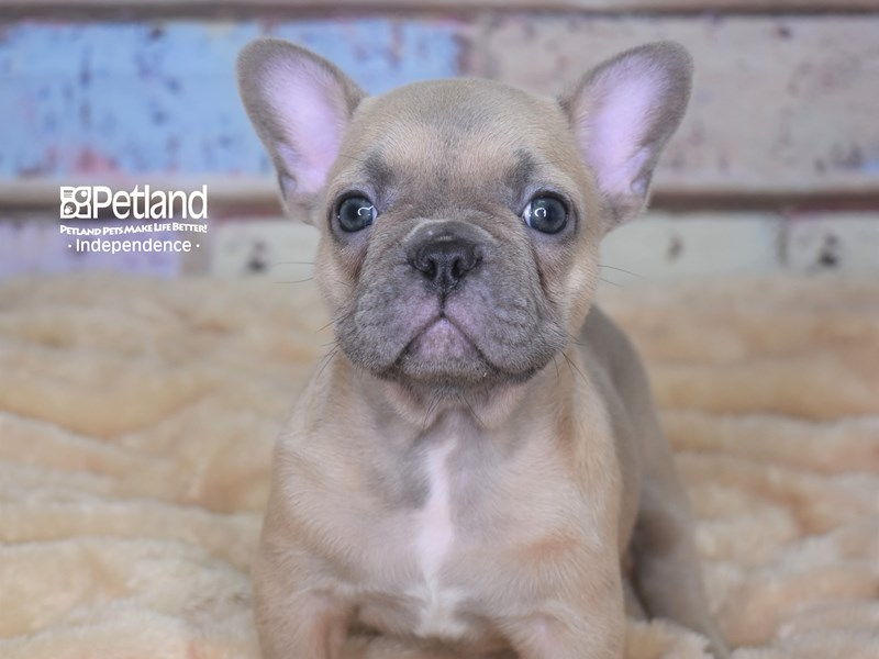 French Bulldog-Male-Blue Fawn-2754960-Petland Independence, MO