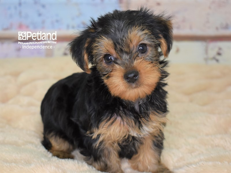 Yorkshire Terrier-Female-Black and Tan-2780342-Petland Independence, MO