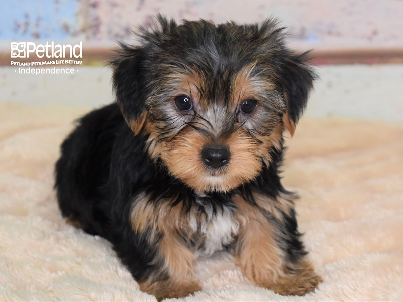 Yorkshire Terrier-Male-Black and Tan-2780337-Petland Independence, MO