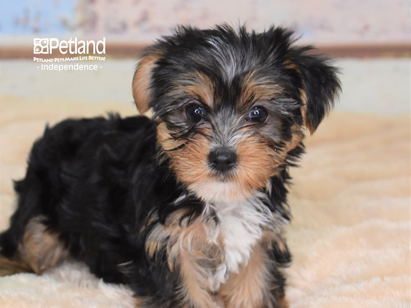 Yorkshire Terrier-Female-Black and Tan-2780344-Petland Independence, MO