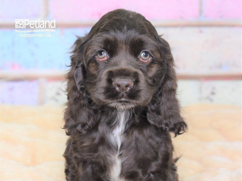 Cockapoo-Male-Chocolate-2785022-Petland Independence, MO
