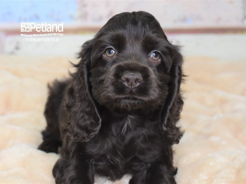 Cockapoo-Female-Chocolate-2785025-Petland Independence, MO