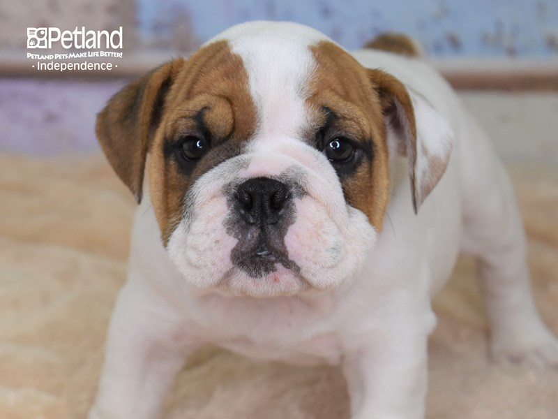 English Bulldog-Male-Red and White-2793182-Petland Independence, MO