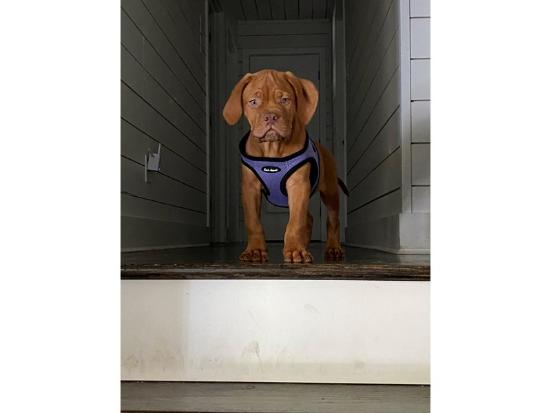 Dogue De Bordeaux-Male-Red-2843609-Petland Independence, MO