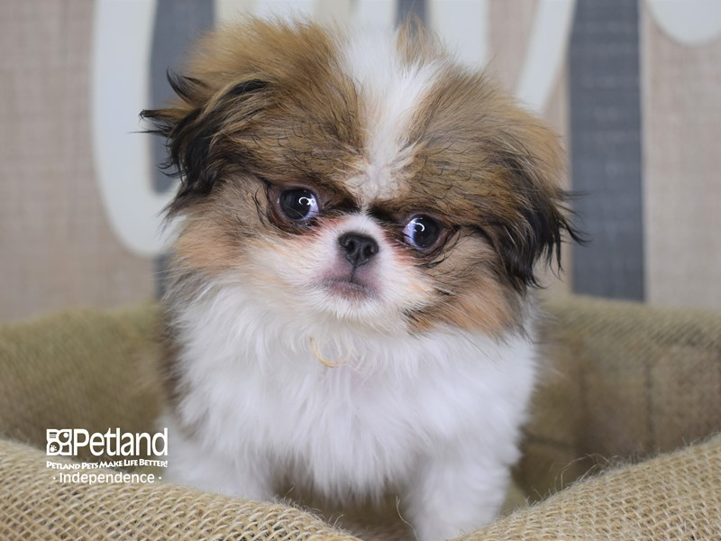 Japanese Chin-Male-Sable and White-2843619-Petland Independence, MO