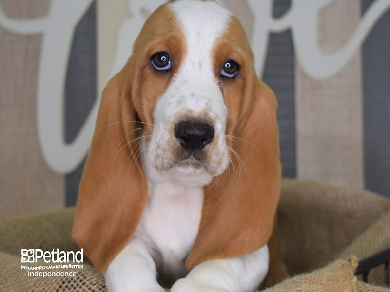 Basset Hound-Female-Red and White-2872601-Petland Independence, MO