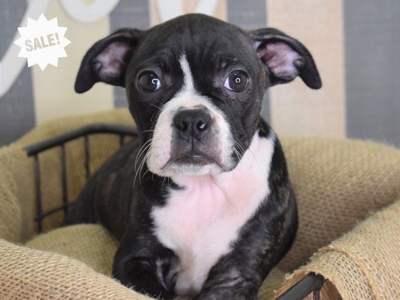 Boggle-Male-Black Brindle and White-2843662-Petland Independence, MO