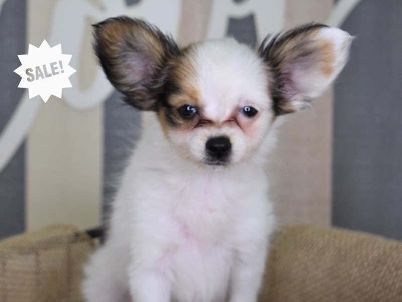 Papillon-Female-Red and White-2825541-Petland Independence, MO