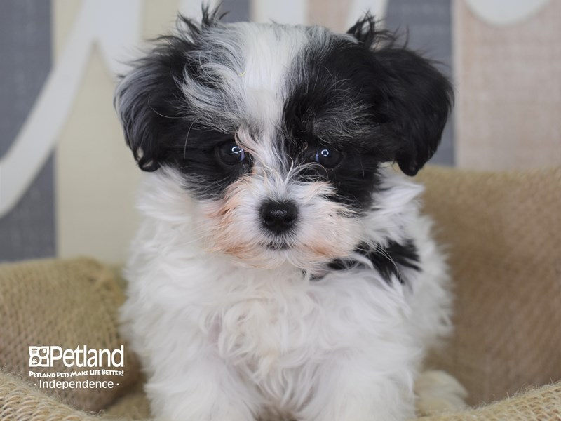 Maltipoo-Male-Black and White-2872615-Petland Independence, MO