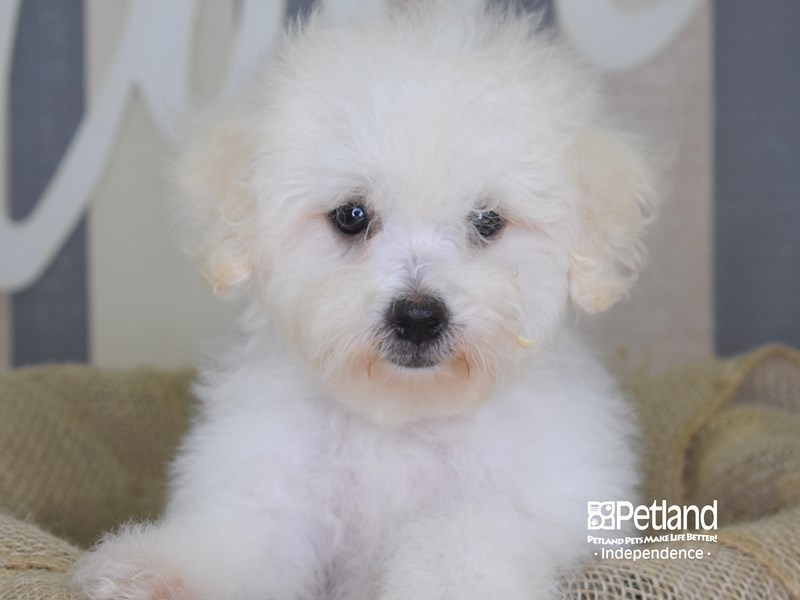 Bichon Poo-Male-White-2893721-Petland Independence, MO