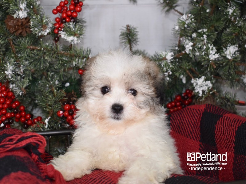 Teddy Bear-Female-Gold and White-2900138-Petland Independence, MO