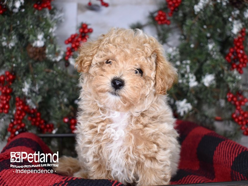 Bichon Poo-Female-Apricot-2900167-Petland Independence, MO