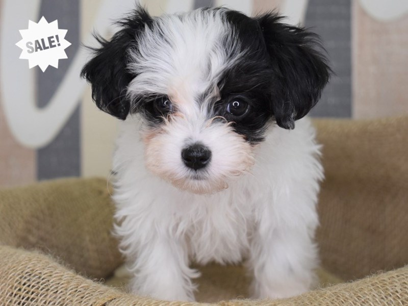 Maltipoo-Female-Black and White-2872619-Petland Independence, MO