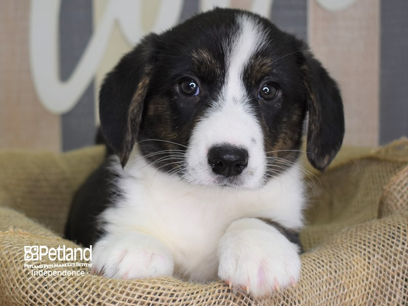 Cardigan Welsh Corgi-Male-Black Tri-2887104-Petland Independence, MO