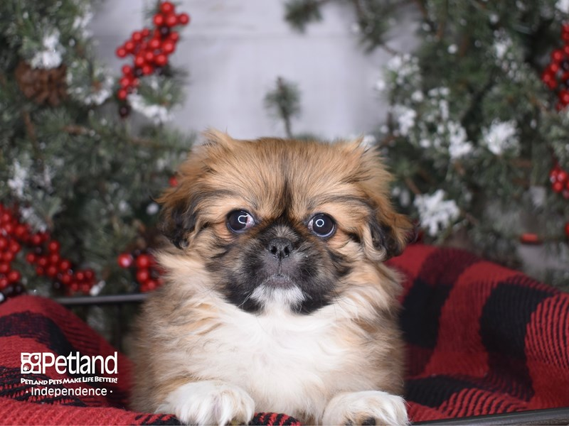 Pekingese-Female-Gold Parti-2900153-Petland Independence, MO