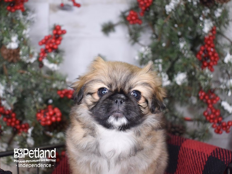 Pekingese-Female-Sable Parti-2900157-Petland Independence, MO