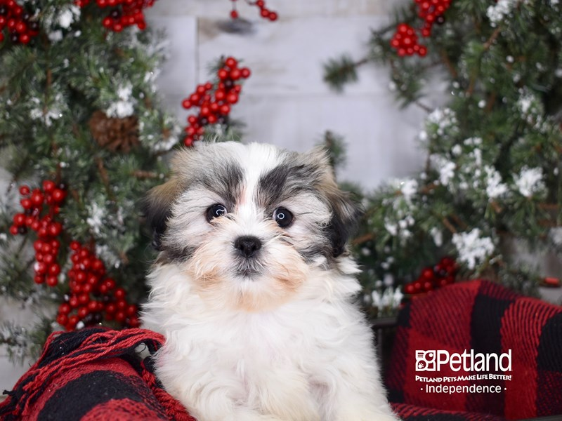 Teddy Bear-Female-Gold and White-2900133-Petland Independence, MO