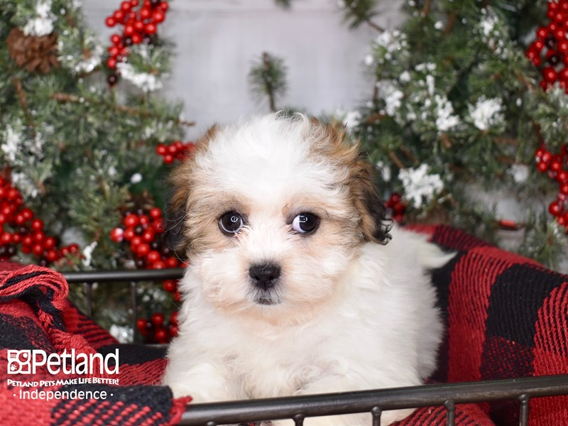Teddy Bear-Female-Gold and White-2900136-Petland Independence, MO