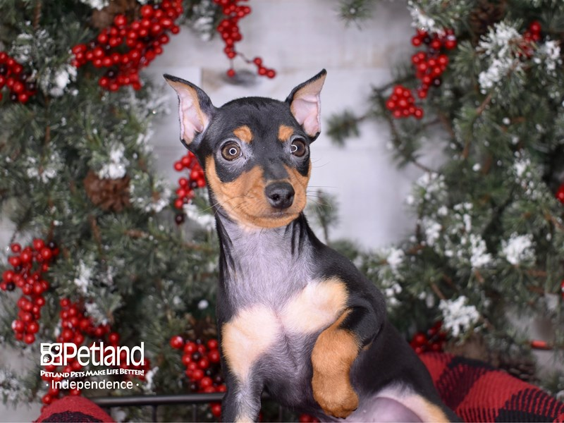 Miniature Pinscher-Male-Black and Rust-2900140-Petland Independence, MO