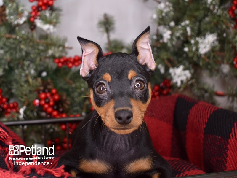 Miniature Pinscher-Female-Black and Rust-2900143-Petland Independence, MO