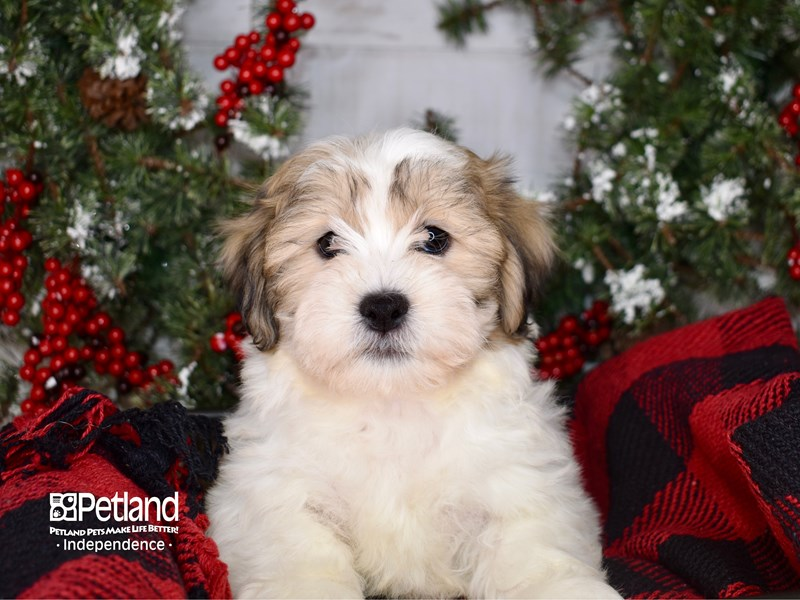 Teddy Bear-Male-Gold and White-2900131-Petland Independence, MO